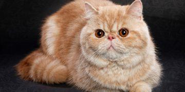 Exotic Shorthair Cinsi Kedilerin Özellikleri ve Bakımı İle İlgili Bilmeniz Gereken 18 Şey