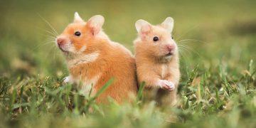 Hamster Hastalıkları İle İlgili Mutlaka Öğrenmeniz Gereken 17 Bilgi