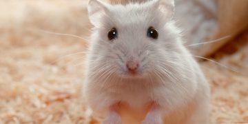 Hamsterlar Yıkanır Mı?