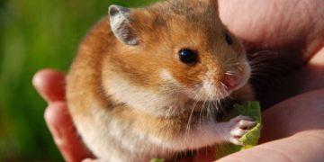 Cevaplıyoruz: Hamster Kafesi Nasıl Olmalıdır?