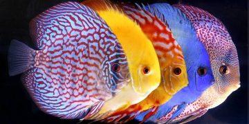 En Renkli 13 Tatlı Su Balığı