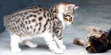 Manx Kedilerin Bakımı ve Özellikleri Hakkında 18 Şey