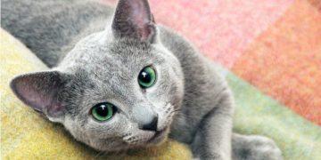 Mavi Rus Kedilerin Bakımı ve Özellikleri Hakkında 17 Şey