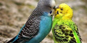 Muhabbet Kuşları Neden Ölür