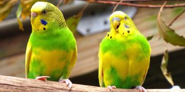 Muhabbet Kuşu Yeni Doğan Yavrusuna Zarar Verebilir Mi?