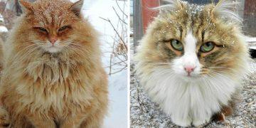 Bir Çiftlikte Yaşayan Sibirya Kedilerinin Göz Alıcı 21 Fotoğrafı