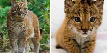 Dünya'da Nesli Tehlike Altında Olan 5 Yabani Kedi