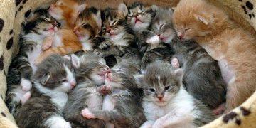 Kedilerde Üreme: Kedilerin Yıllık Üreme Sayısı