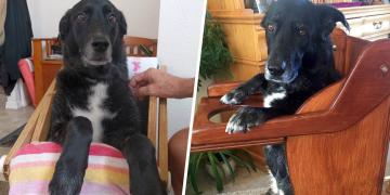 Yemek Yiyemeyen Köpekleri İçin Özel Sandalye Tasarlayan İyi Kalpli İnsanlar