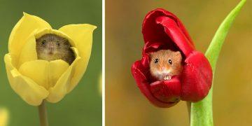 İngiliz Fotoğrafçının Objektifinden Kalpleri Eritecek 19 Hamster Fotoğrafı