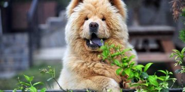 Sevindirici Haber: Kaçırılan Köpek Herkül, Polis Ekipleri Tarafından Kurtarıldı