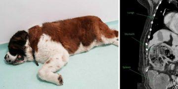Yemek Yemeyen Köpeğini Veterinere Götürdü, Veteriner Hekim Köpeğin Karnındakini Görünce Gözlerine İnanamadı