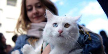 Ayağı Kırık Halde Bulunan ve Van'ın En Güzel Kedisi Seçilen Sezar'ın İçimizi Isıtan Hikayesi