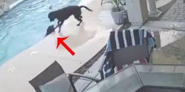 Havuza Düşen ve Boğulma Tehlikesi Geçiren Sakat Köpeği Bakın Kim Kurtarıyor