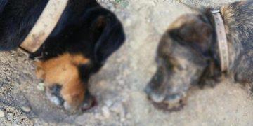 Yazıklar Olsun: Barınaktan Sahiplenilen 2 Masum Köpeği Zehirlediler