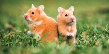 Gonzales Hamster Özellikleri Hakkında Bilmeniz Gereken 13 Bilgi