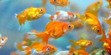 Japon Balıkları Hakkında 15 İlginç Bilgi