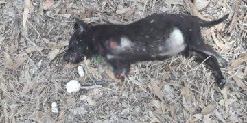 Artık Yeter! Ön Patileri Kesilmiş Halde Bulunan Yavru Köpek Melek Oldu