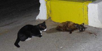 Ölen Arkadaşının Yanından Saatlerce Ayrılmayan Vefakar Kedi