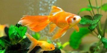 Japon Balığı Bakımı ve Özellikleri İle İlgili Bilmeniz Gereken 16 Bilgi