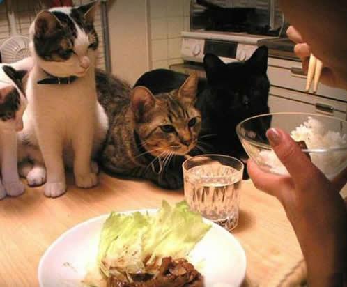 kedi-ev-yemegi