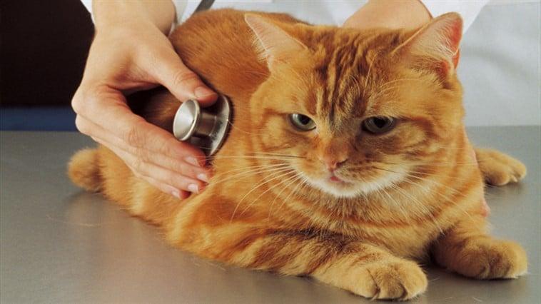 kedi kalp hastaligi