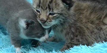 Öksüz Yavru Vaşağa Annelik Yapan Koca Yürekli Kedi