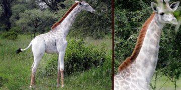 Eşi Benzerine Az Rastlanan Beyaz Zürafalar Sosyal Medyanın İlgi Odağı Oldu