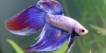 Beta Balığı Bakımı ve Özellikleri Hakkında 12 Dolu Bilgi