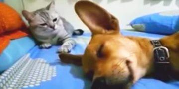 Uyurken Gaz Çıkaran Köpek ve Yanındaki Kedinin Verdiği Muhteşem Tepki
