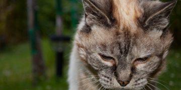 Kedilerde Karaciğer Yetmezliği ve Tedavisi