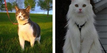 Kedilere Tasma Takmanın Olası Zararları İle İlgili 13 Şey