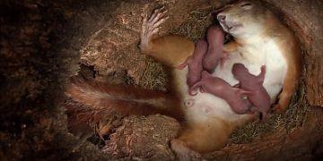 Tüyleri Diken Diken Eden Olay: Sincabın Doğum Anı