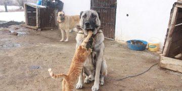 Kim Demiş Kediler ve Köpekler Anlaşamaz Diye: Kangal Köpekleri İle Kedilerin Kalp Eriten Fotoğraflar