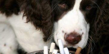 Köpekler için Sigara Zararlı mı?