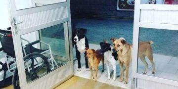 Evsiz Adamı Hastane Kapısında Bekleyen Vefakar Köpekler
