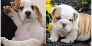 Hayatınızda Görüp Görebileceğiniz En Sevimli +10 Yavru Köpek