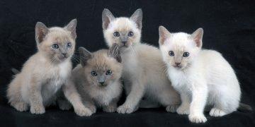 Tonkinese Kedi Cinsi: Özellikleri ve Bakımı İle İlgili 14 Bilgi