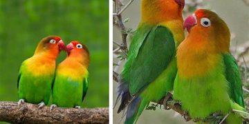 Papağan Nasıl Konuşur? Nasıl Konuşturulur?