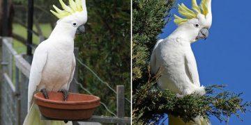 Kakadu Papağanı Hakkında 14 Bilgi