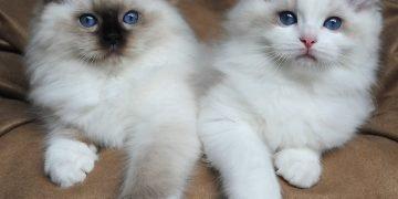 Beyaz Kedi Cinsleri: 13 Tür ve Özellikleri