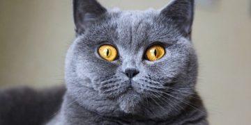 Gri Kedi Cinsleri: 14 Tür ve Özellikleri