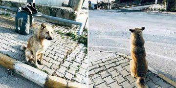 Kendisini Terk Eden Ailesini 1 Yıldır Dolmuş Durağında Bekleyen 'Can' İsimli Köpek