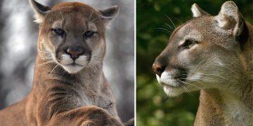 Puma Hayvanı Özellikleri, Davranışları ve Yaşam Alanları İle İlgili 14 Bilgi